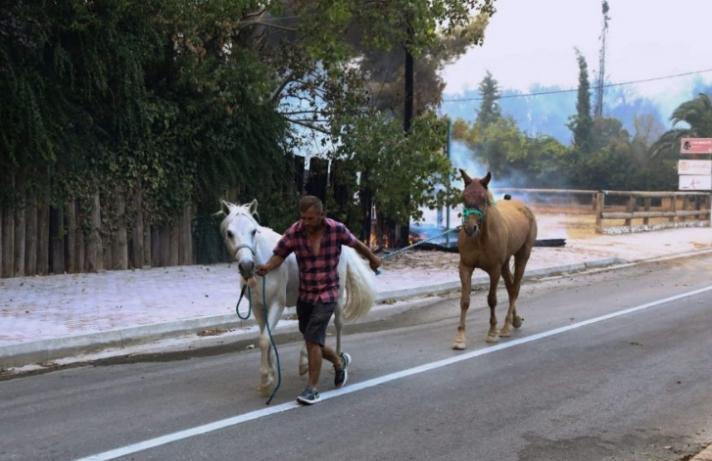 Σώθηκαν περίπου 250 άλογα από τη Βαρυμπόμπη! Μεταφέρθηκαν με ασφάλεια στο Μαρκόπουλο