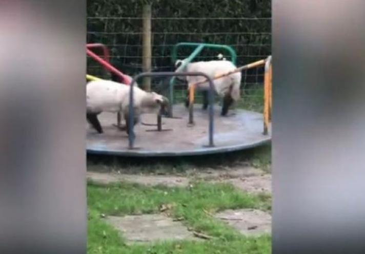Ο Shaun the sheep ζει: Πρόβατα κάνουν γύρω - γύρω όλοι (Video)